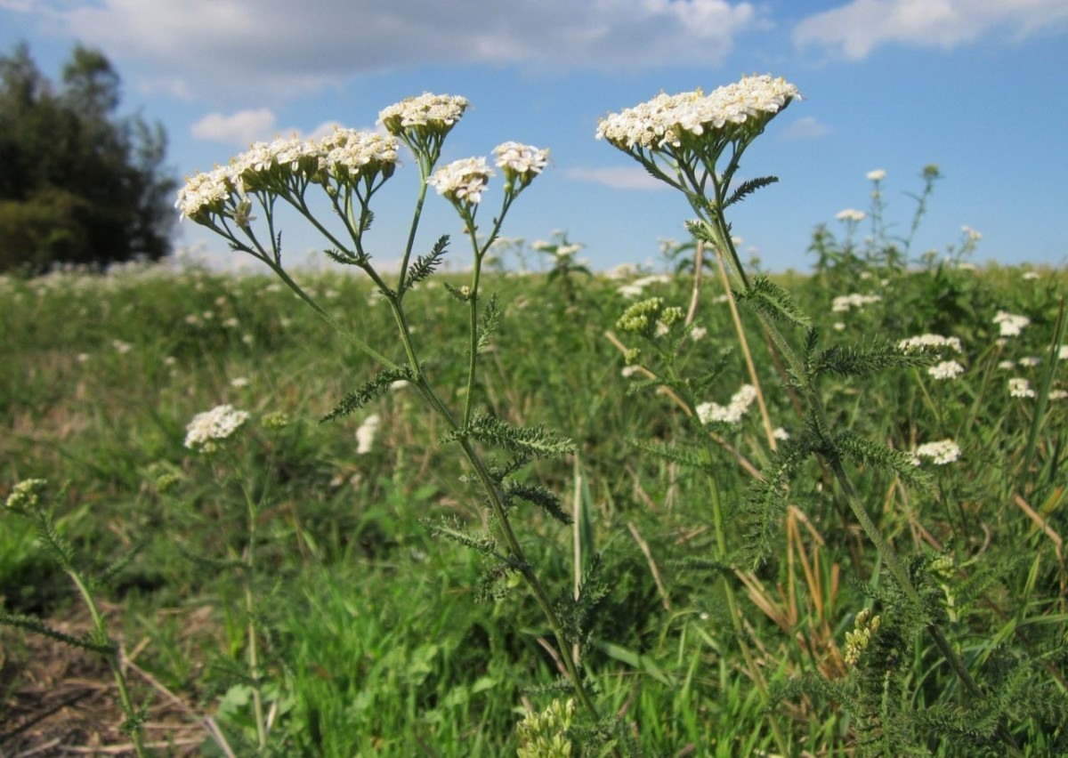 Тысячелистник обыкновенный (Achillea millefolium)