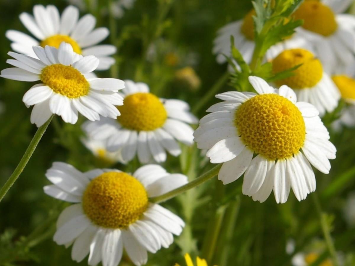 Ромашки аптечной цветки (Chamomillae recutitae flores)