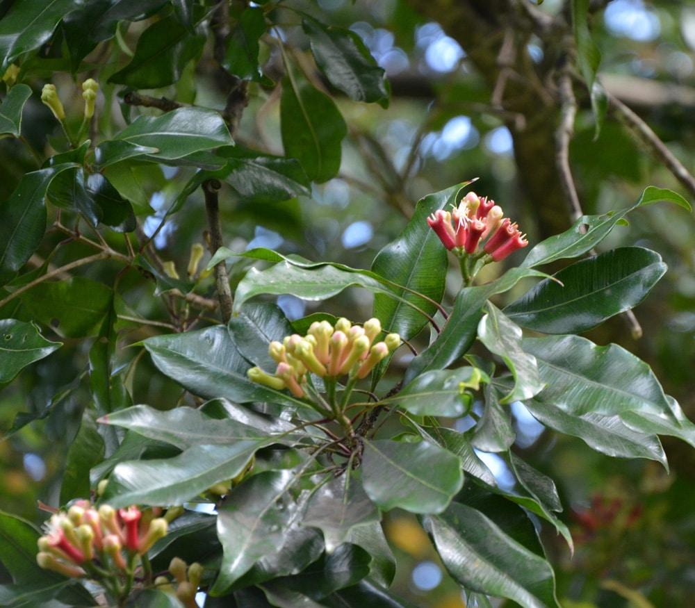 Зацветающие бутоны гвоздичного дерева