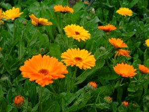 Ноготки лекарственные или Календула лекарственная (Calendula officinalis)