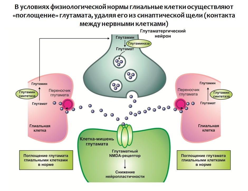 Функции глутамина в организме