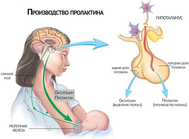Производство пролактина у женщин