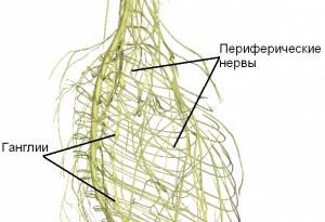 Периферическая нервная система: строение, заболевания и лечение