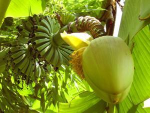 BanLec: лекарство из бананов