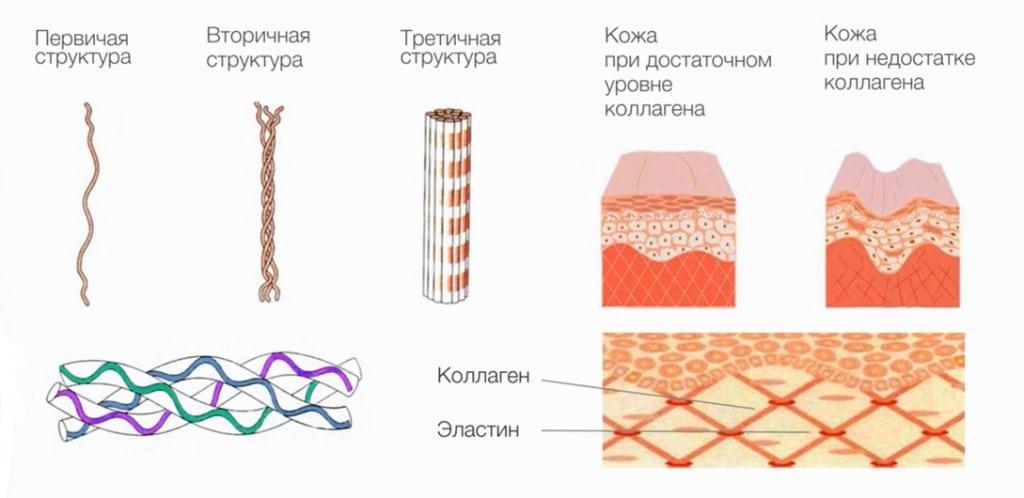 Коллаген в организме человека