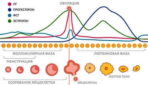 Прогестерон у женщин в месячном цикле