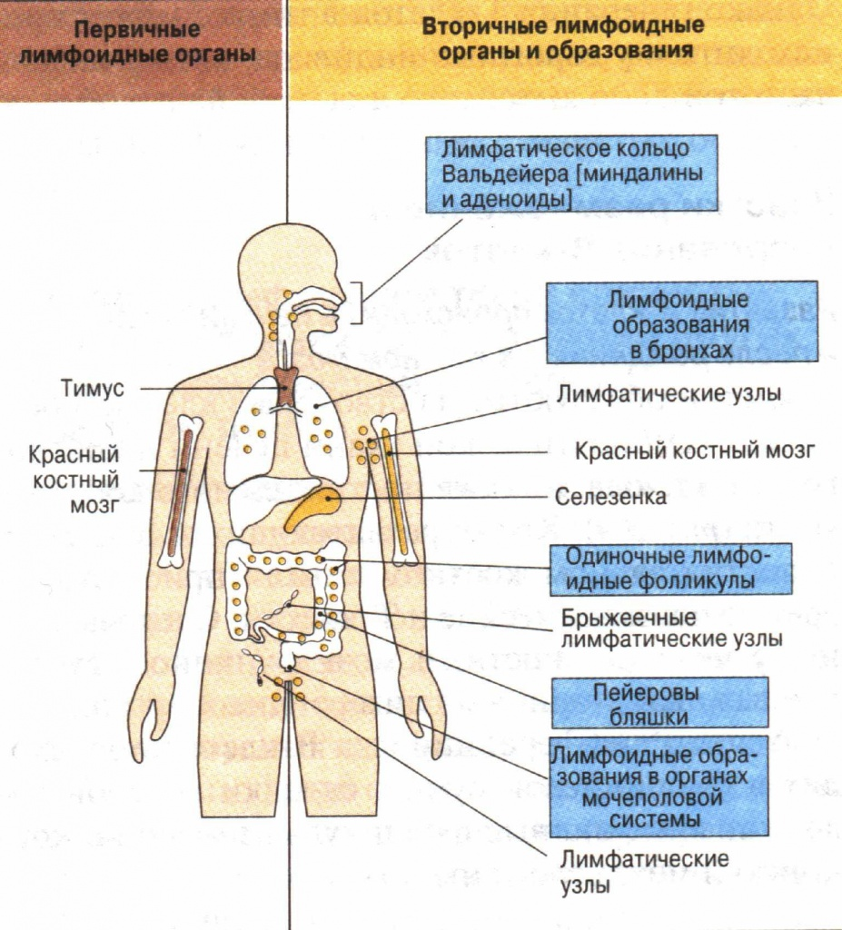 иммунитет.jpg