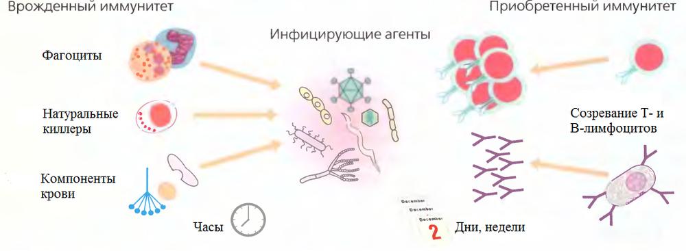 Врожденный и приобретенный иммунитет