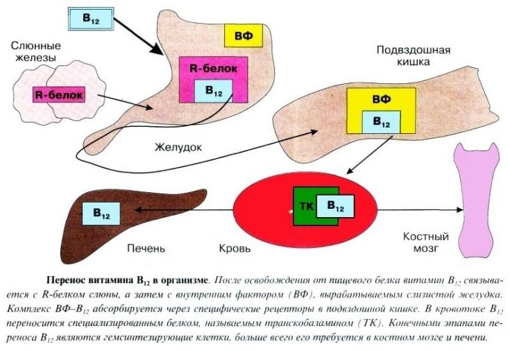 Витамин B12 в организме