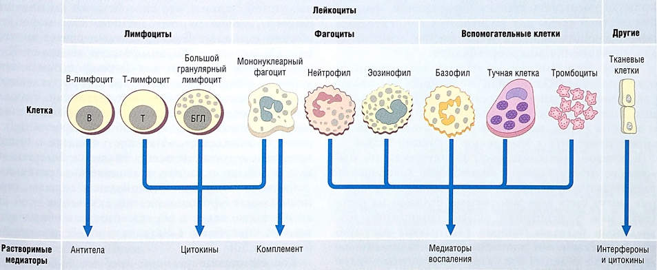 Клетки иммунитета