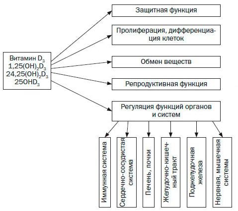 Функции витамина Д в организме