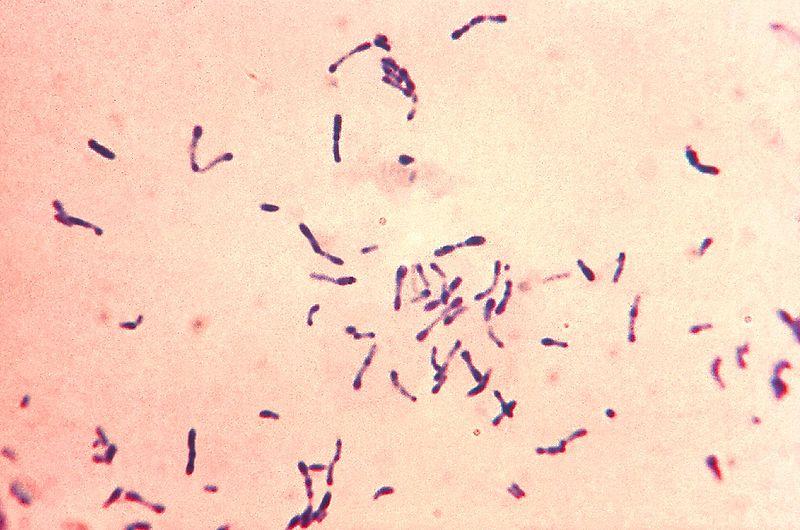 Дифтерийные палочки (Corynebacterium diphtheriae) - грамположительные палочковидные бактерии