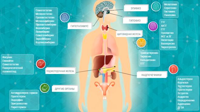 Железы внутренней секреции, где вырабатываются гормоны