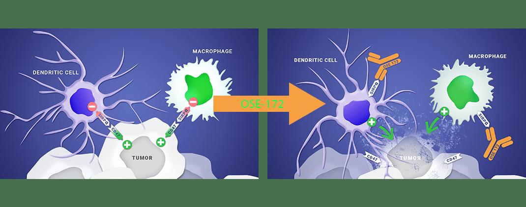 BI 765063 ингибирует SIRPα и восстанавливает активность ТАМ и дендритных клеток в ответ на опухоли
