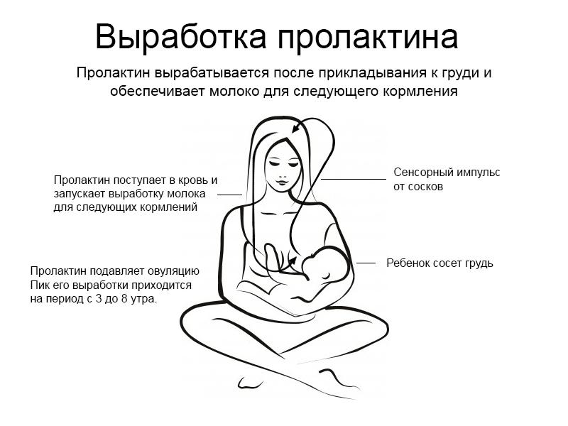 Схема выработки пролактина при грудном вскармливании