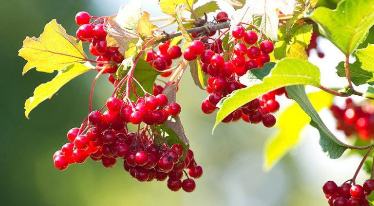 Калина: польза дивной ягоды