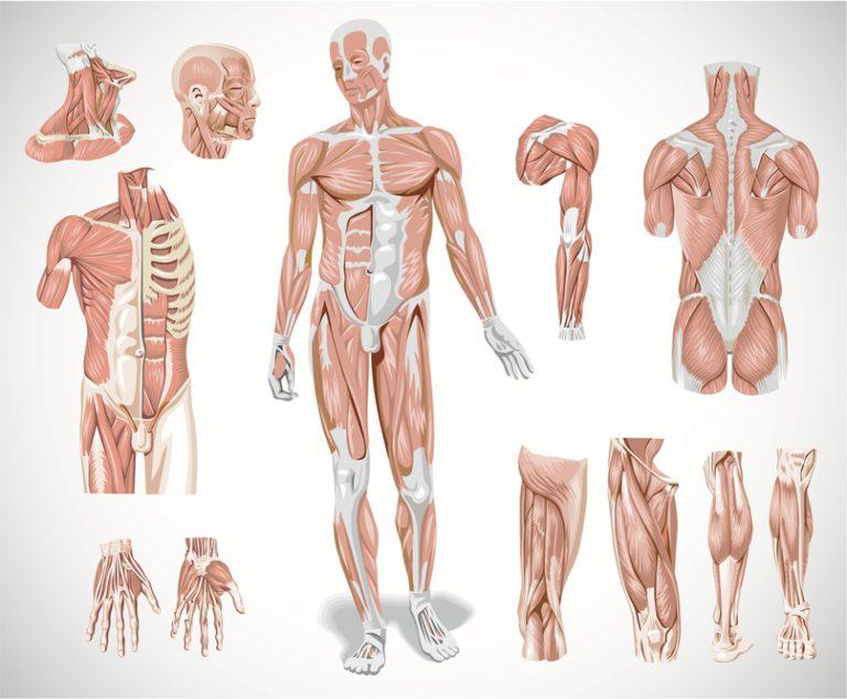 Новые части тела человека: учёные совершают открытия и заявляют, что это только начало