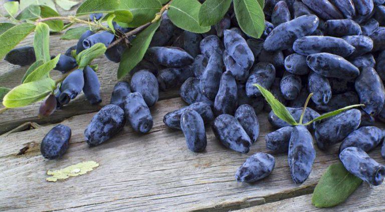 Жимолость: польза синей ягоды