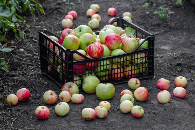 Почему употребление отбитых яблок вредит здоровью?