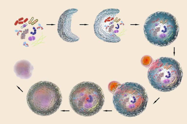 Аутофагия — очищение организма на клеточном уровне